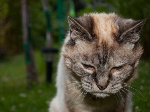 Tired_20-year-old_cat